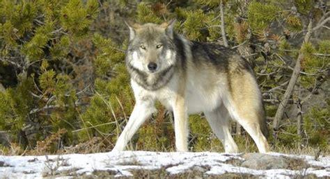 wolves   great lakes defenders  wildlife