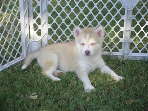 pomsky puppies for sale in va pomskies for sale auto design tech