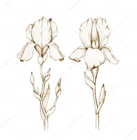 Iris Outline by Related Keywords Suggestions For Iris Pencil Drawing