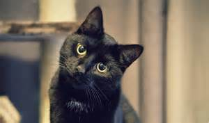 black cat black cats are struggling to find new homes but hopes are