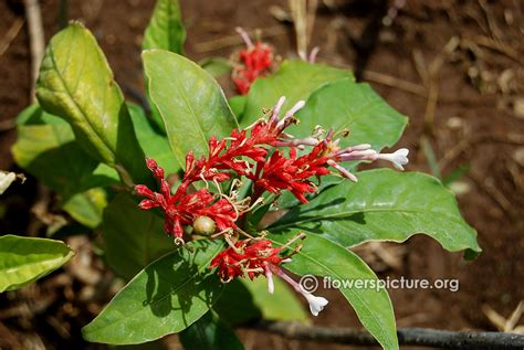 rauvolfia serpentina indian snakeroot