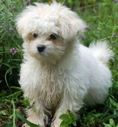 images of maltese puppies puppy gallery pictures