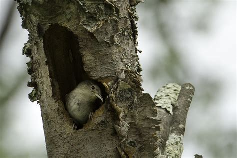 nesting house wrens stephen l tabone nature photography