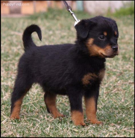 adopt a rottweiler puppy for free rottweiler puppies for adoption pets for free adoption dubai city
