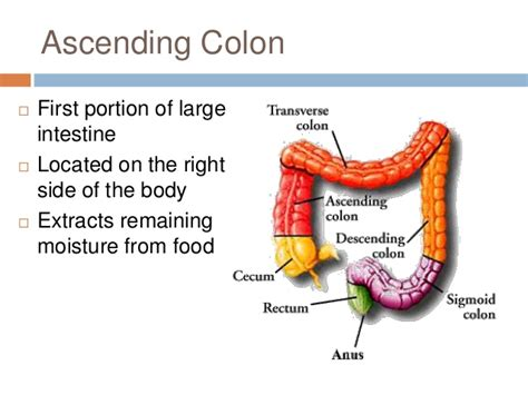 what is the first section of the large intestine anatomy of the digestive system