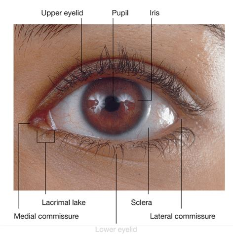 what part of the eye has color duke anatomy lab 2 pre lab exercise