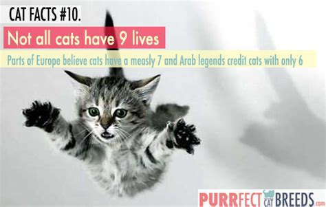 cat facts 10 cats don t always 9 lives purrfect