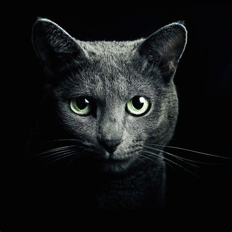 wallpaper cat iphone 6 download russian blue cat hd wallpaper for iphone 6 plus