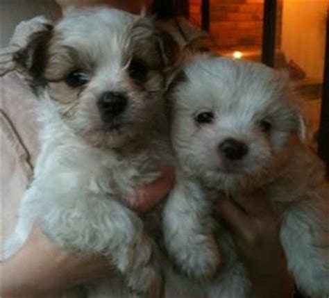 epupz shih tzu maltese x shih tzu puppies for sale uk