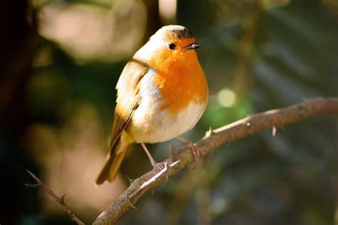 Birds Top top 10 best singing birds in the world