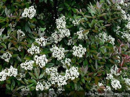 cespugli fioriti sempreverdi photinia x fraseri robin siepi rosaceae