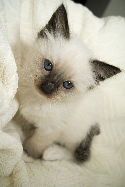 imagenes de animales bebes 1000 images about gato siames on pinterest siamese
