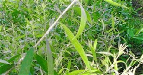 bibit kayu putih jual bibit tanaman buah hias hutan