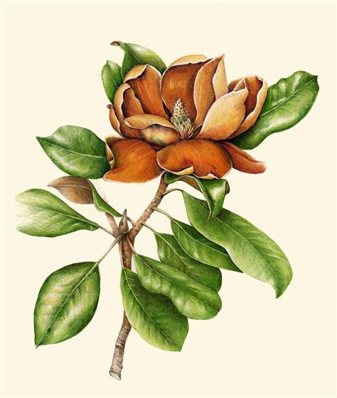 botanical drawing in color 0823007065 flowers gallery full botanical artist illustrator learn to draw art books art supplies