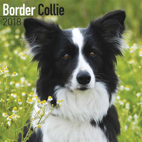 Border Collie Also Search For Border Collie Calendar 2018 Calendar Club Uk