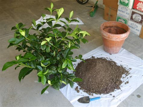 Gardenia House Plant Gardenia Plant Care Growing Planting Cutting Diseases