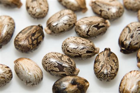 castor beans  foods    eat raw