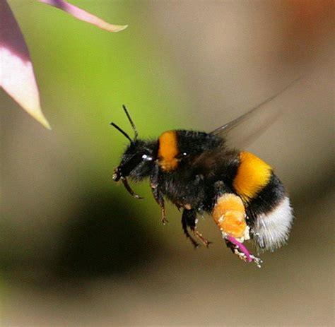 Bumble Bee L by Animalfarm Teil 49 Wie Hummeln Anderen Hummeln