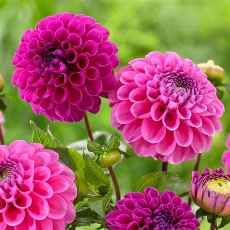 dalia fiore significato significato dalia giardino significato dalia