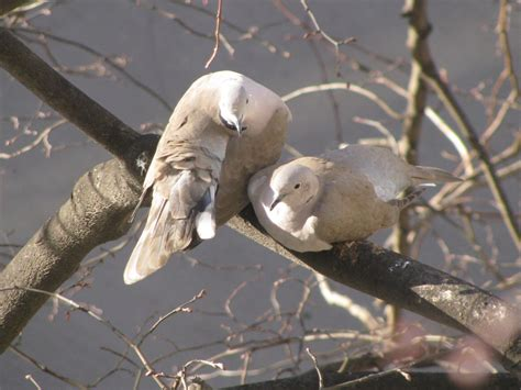 doves hd wallpaper 557370 jpg dove wallpapers hd pictures one hd wallpaper pictures