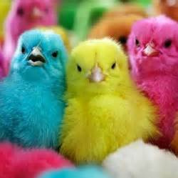 colored chickens colorful cutee