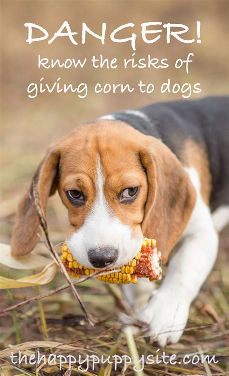 can dogs eat corn on the cob can dogs eat popcorn a popcorn and dogs safety guide from the happy puppy site