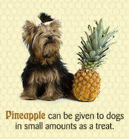 is pineapple safe for dogs is pineapple for dogs