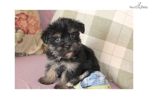 yorkie poo puppies price meet tiny tim a yorkiepoo yorkie poo puppy for sale for 500