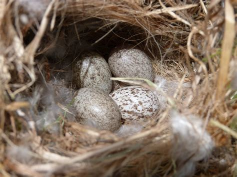 house sparrow eggs house sparrow nest eggs cowbird egg project noah