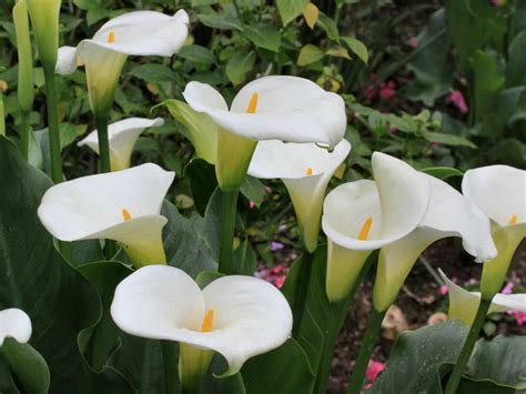 how to grow and care for calla lilies world of flowering plants