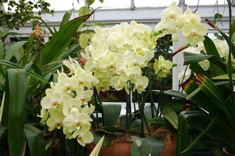 manutenzione orchidee in vaso manutenzione orchidee cura orchidea coltivazione orchidee
