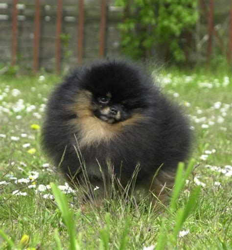 black and pomeranian black pomeranians pomeranian breed facts care pictures characteristics