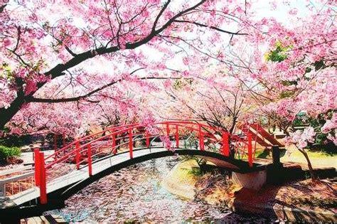 imagenes de sakura japon o simbolismo do sakura no jap 227 o curiosidades do jap 227 o