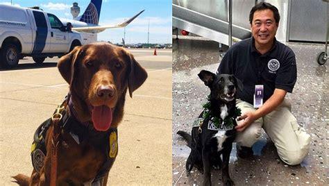 adopt tsa dogs you can adopt your own tsa explosives detection dogtime