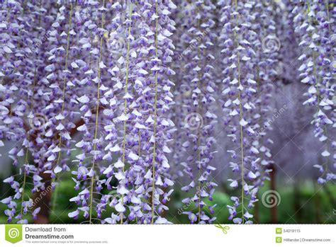 wisteria tunnel the fantastical world full of wisteria