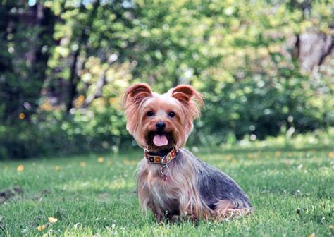 how to housebreak a yorkie in 7 days designing balanced yorkie module