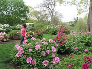 Rose Trellis Plans tree peony collection at the new york botanical garden