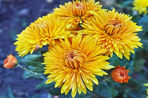 Jarum Paku Premium Chrysanthemum 2 Cm bush of yellow chrysanthemums fototapety inne dekowizja pl