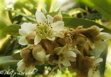 fiori di nespolo fiori di nespolo su rosa antico