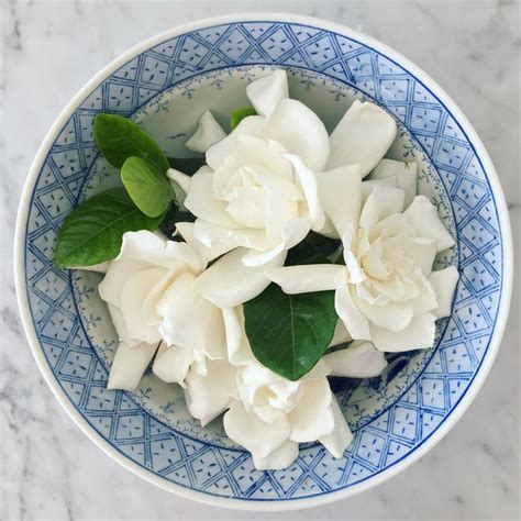 high c gardenias 82 best images about high c supply on pinterest rose