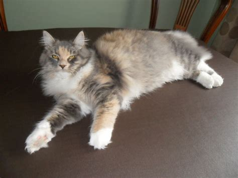 siberian forest cat   Spennymoor, County Durham   Pets4Homes
