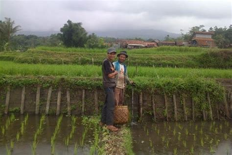 Bibit Ikan Koi Di Garut bibit ikan dan padi ditebar di sawah yang sama di