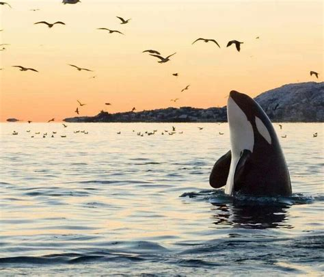 killer whale fluffy 1301 best animals images on cutest animals