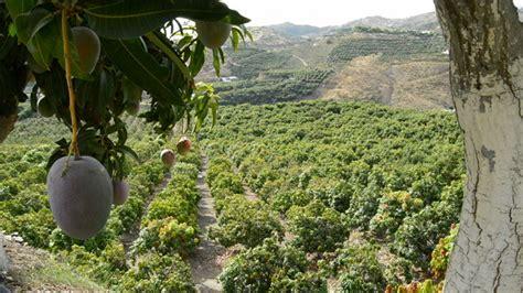 fields for growing fruit trees fields of mango tree fruit by ianm35 videohive