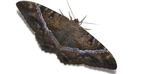imagenes de mariposas negras grandes mariposa maldita