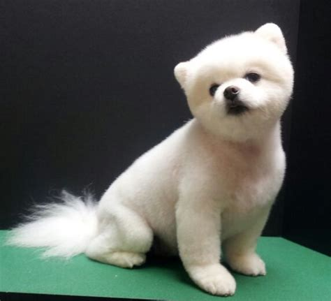 grooming a pomeranian teddy pomeranian teddy trim puppy cut white pomeranian groom grooming by