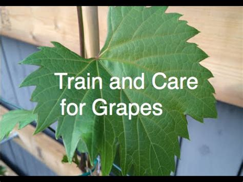 train and care for grapes cold hardy frontenac and concord easy and organic alberta urban garden