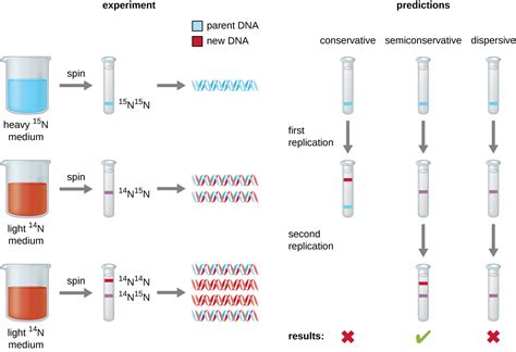 semiconservative replication involves a template what is the template 11 2 dna replication biology libretexts