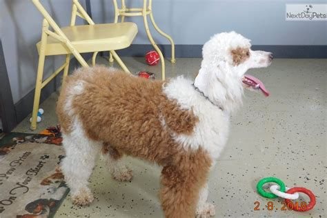 miniature poodle rescue indiana poodle miniature puppy for sale near south bend