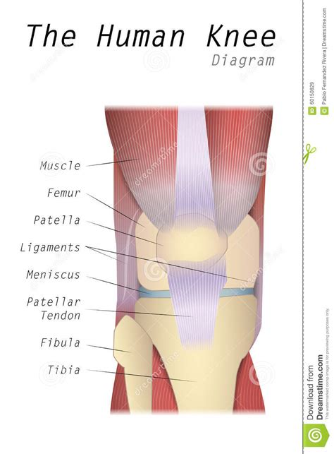 human knee diagram patella illustrations vector stock images
